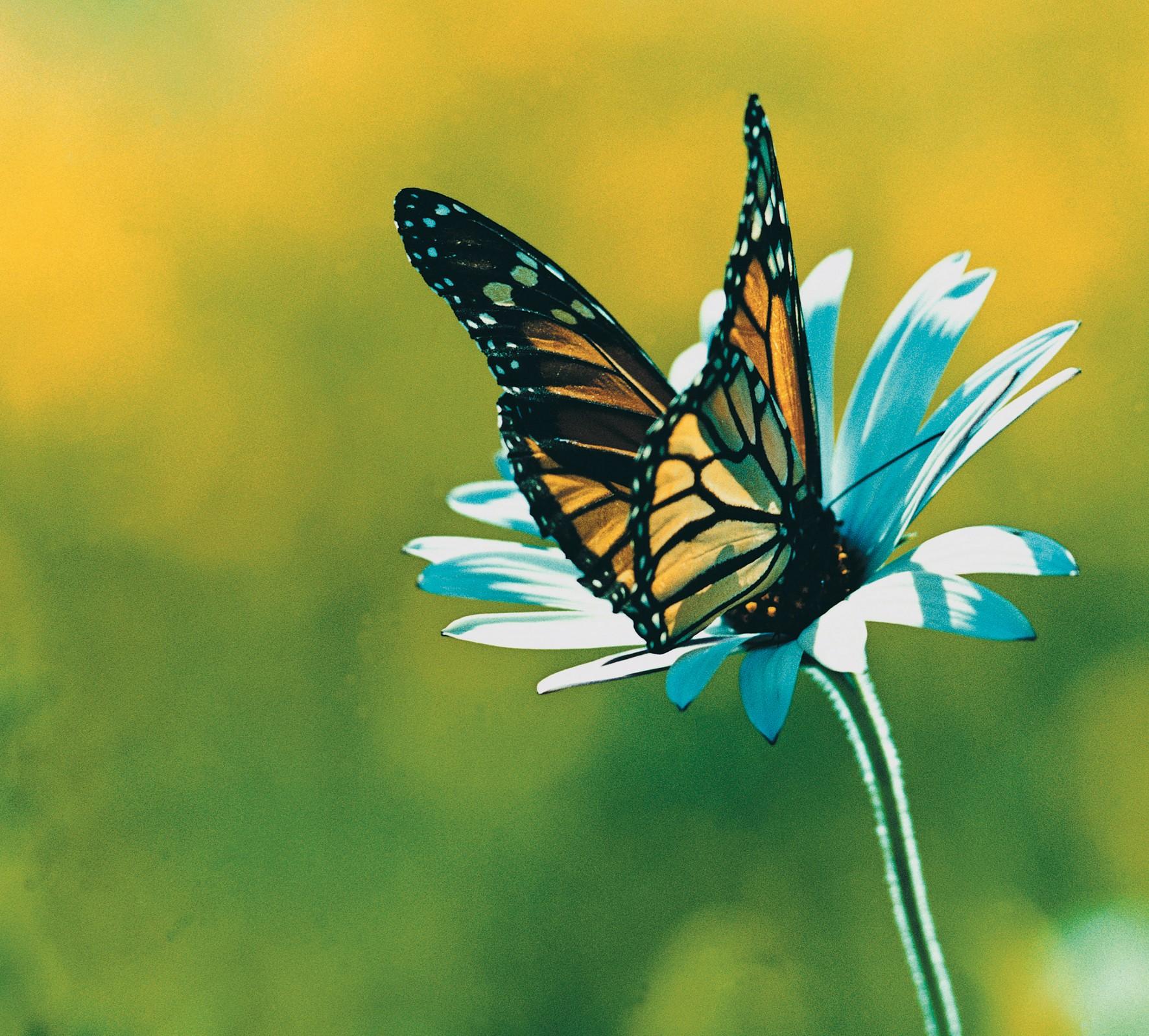 Farfalla domodama - Immagini di farfalle a colori ...