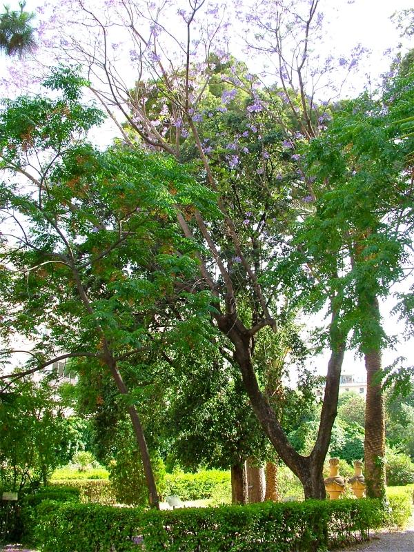 """Jacaranda nel giardino del """"Maria Adelaide""""  di costagar51"""