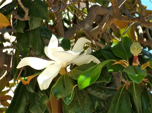 una Magnolia per Margherita di costagar51