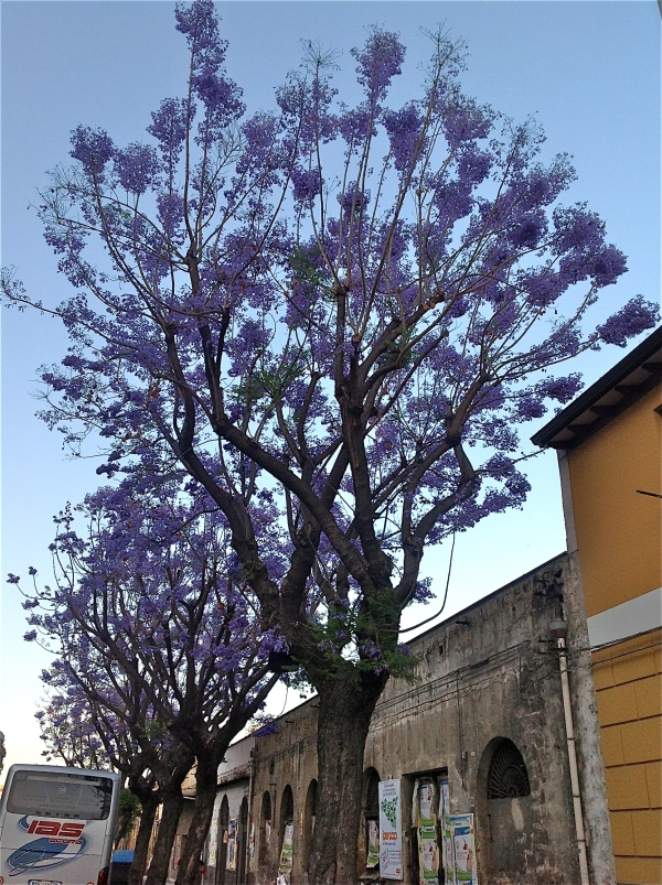 Jacaranda in via Lincoln di costagar51