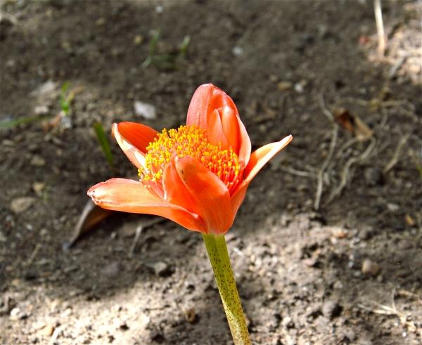 """""""Haemanthus  coccineus""""  (Fiore di sangue) di costagaar51"""