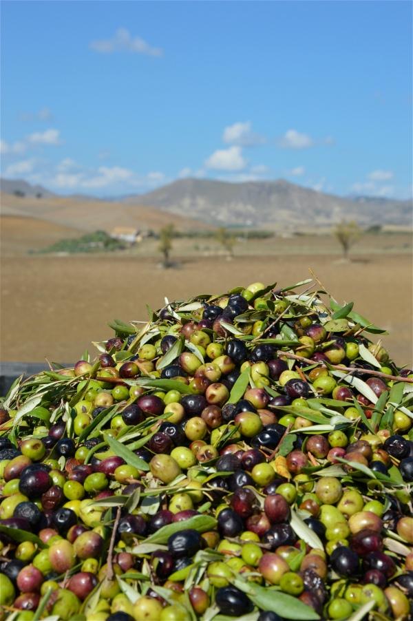 olive siciliane di costagar51