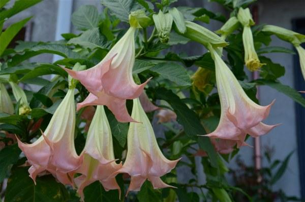 Brugmansia arborea di costagar51