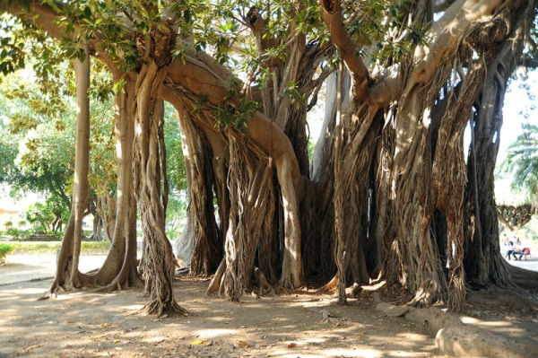 Ficus-p-marina-palermo-01