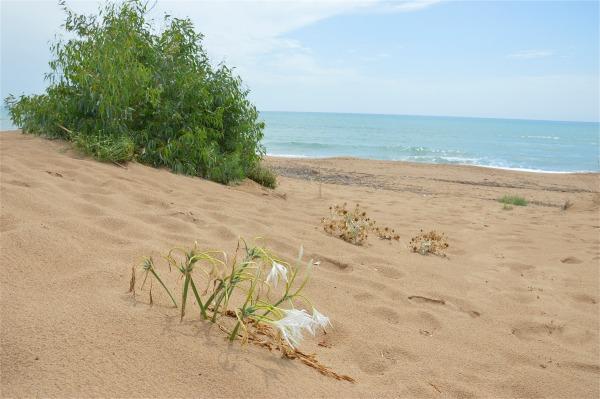 Giglio di mare sulle dune di sabbia di costagar51