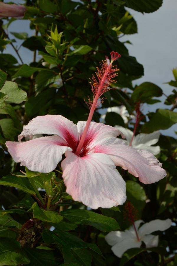 Hibiscus a Mondello di costagar51