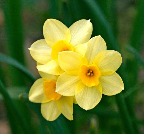 Il bel narciso con le radici a verme domodama for Bulbi narcisi