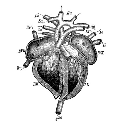 cuore-tavola-anatomica-1024x1024.jpg
