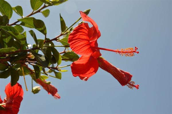 Hibiscus rosso a Isola delle Femmine di costagar51
