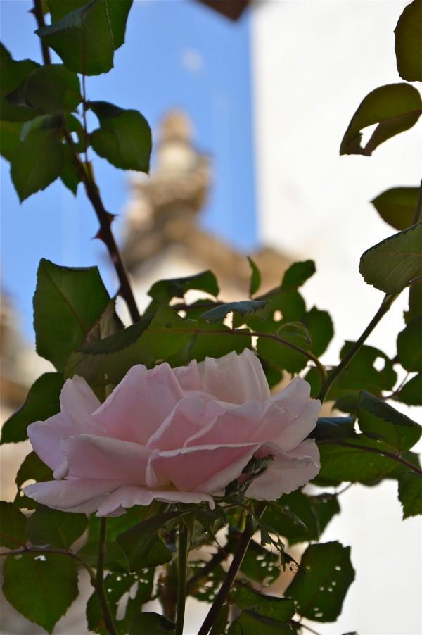 Rosa d'aprile a piazza Sant'Anna di costagar51