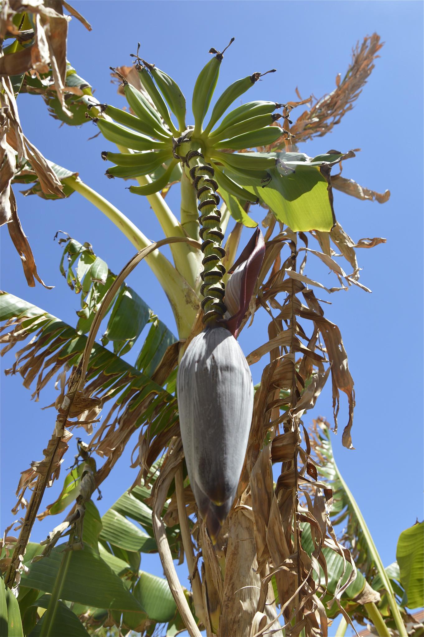 Infiorescenza di banano