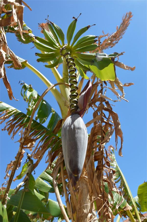Infiorescenza di banano di costagar51