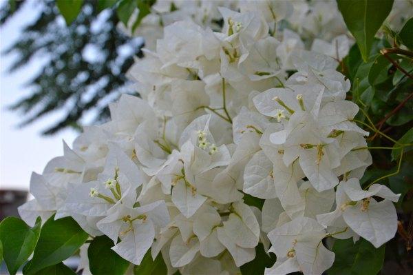 Bougainvillea bianca di costagar51
