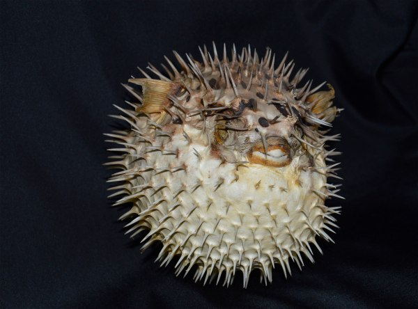 "Tetraodontidae - ""Pesce palla"" di costagar51"