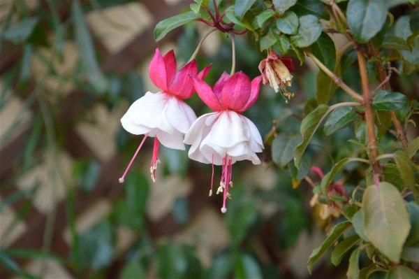 Fuchsia: una pianta - Fucsia: un colore di costagar51